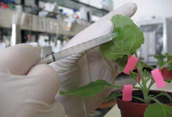 Agroinfiltration, une méthode complémentaire des NBT