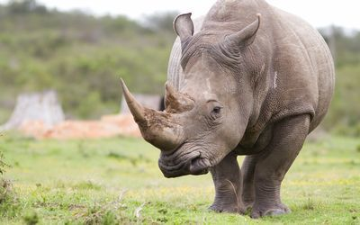 South Africa, Kenya to 'speak with one voice' on rhino at Bangkok conference