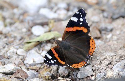 Un beau papillon vulcain au pied du tas de bois.