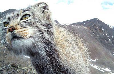 Les chats sauvages de Sibérie sont au bord de l'extinction