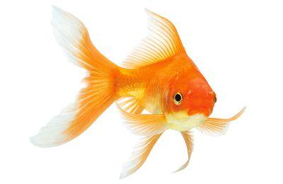 Posséder un poisson rouge est illégal en Suisse !