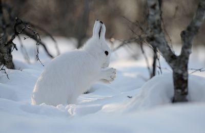 Un lièvre blanc