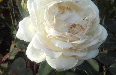 Une rose pour Jeanne...