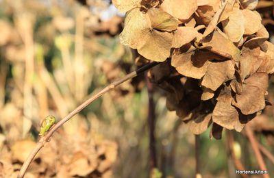 Du 15 février au 15 mars , c'est la bonne période pour tailler les hortensias