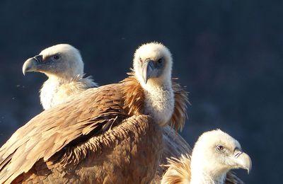 Observation du vautour fauve en Lozère.