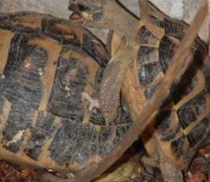 1773 - Cri de tortue