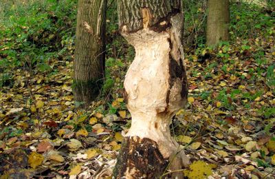 Castor, profession: sculpteur sur bois