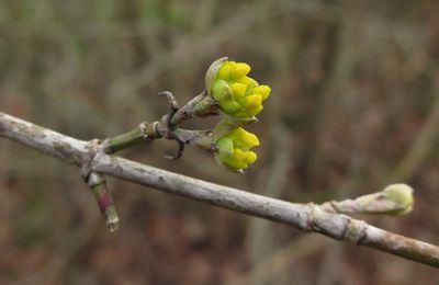 Fleurs de cornouiller mâle ( (Cornus mas)