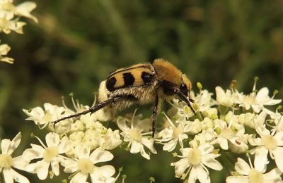 Trichie fasciée (Trichius fasciatus)