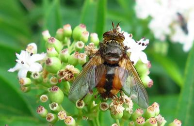 La tachinaire sauvage ( Tachina fera )