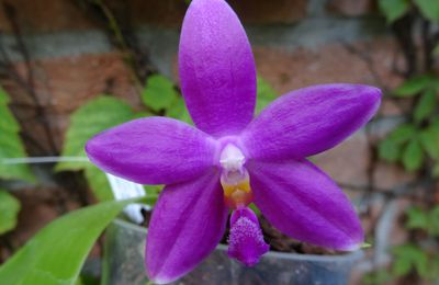 Phalaenopsis Germaine Vincent