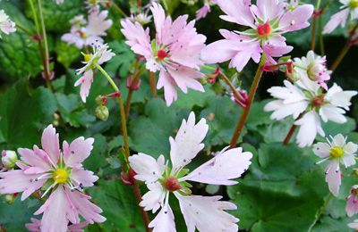Saxifraga fortunei 'Cheap Confection'