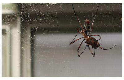 arachnides : aranéides : néphilidés (araignées)