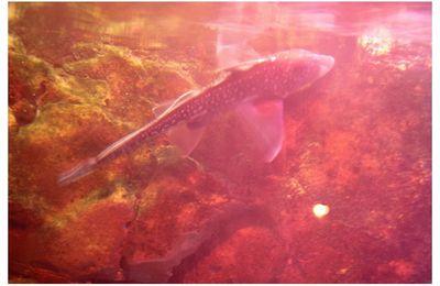 faune : chondrichthyens (poissons cartilagineux) : chimériformes