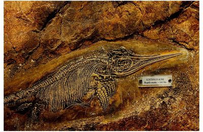 faune : reptiles : † Ichthyosauriens