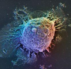 Jeûne et régénération des cellules souches