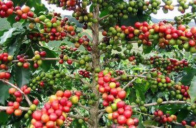 La Cote d'Ivoire en campagne pour une économie Caféière durable