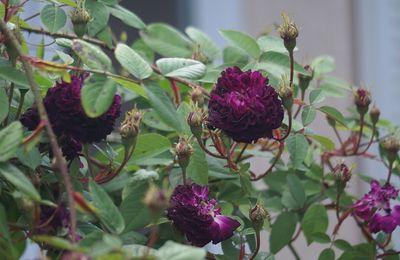 Une rose, un jour : Petite renoncule violette