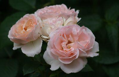 Une rose, un jour : Clair renaissance