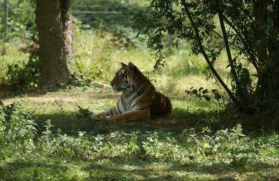 Espèce menacée : Le tigre de Sumatra