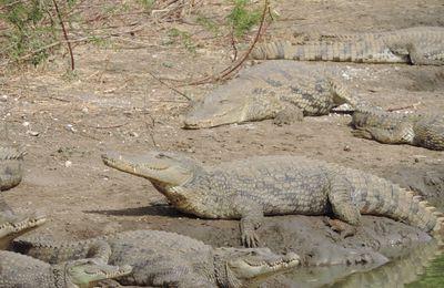 Crocodile dundee à Bandia