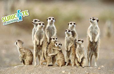 Soyons tous des suric@tes !