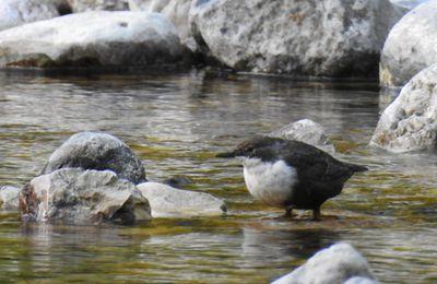 Le cincle plongeur, un autre oiseau des torrents.