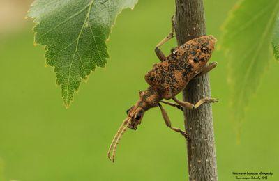 La Rhagie mordante (coléoptère)