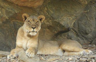 MESSAGE DE SVENKA, une lionne rencontrée en Namibie