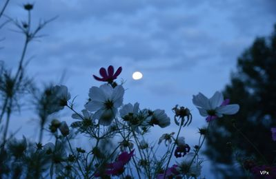 Elles dansent au clair de lune...