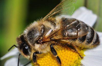 L'amie de l'homme : l'abeille