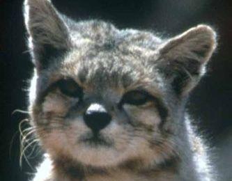 El gato andino (chat andin)