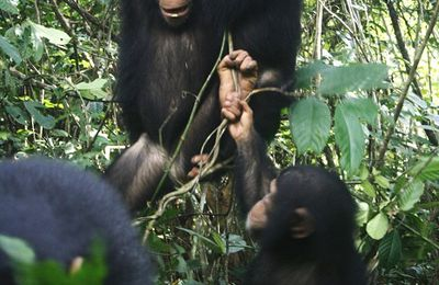 Integration for chimpanzees !