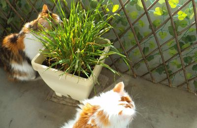 Chats aiment l'herbe à chats