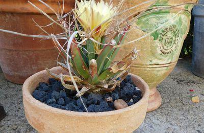 Floraison du Leuchtenbergia principis.