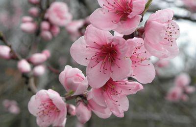 Sérum huile sèche fleur de Cerisier (prévention et apaisant)