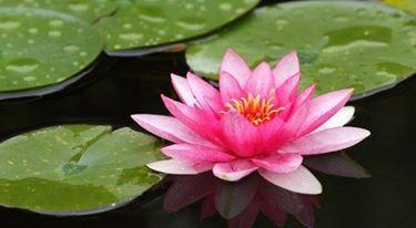 Nénuphars et autres plantes d'eau, les haïkus d'Eliane
