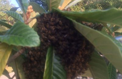 Récupérer un essaim d'abeilles fin août : fait !