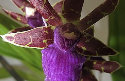 culture d'orchidées