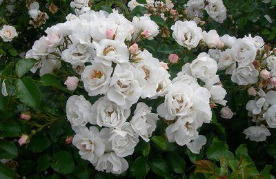 Des roses pour égayer votre salon