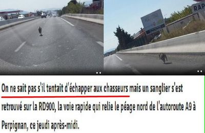 Un jeune sanglier traverse la voie rapide au nord de Perpignan , ce jeudi après-midi.