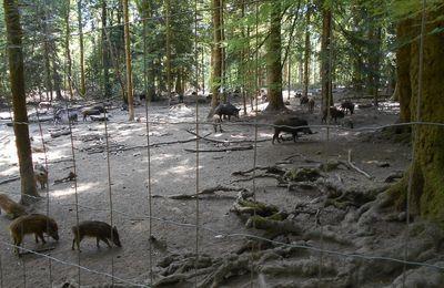 En forêt d'Anost, ce sont les sangliers qui vous accueillent