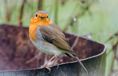 Le rougegorge (Erithacus rubecula - European Robin)