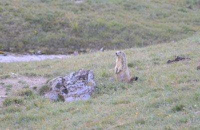 La Provence Les Alpes - L'Image du Jour : Les marmottes des Hautes-Alpes