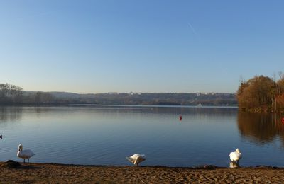 Cygnes sur les étangs de Cergy
