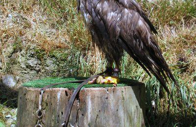 Aigle des steppes (Aigle ravisseur)