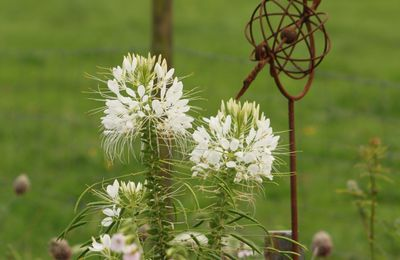 La Cleome spinosa 'Helen Campbell'