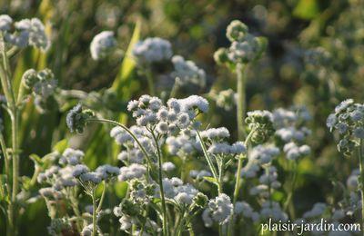 L'Ageratum hoostonianum 'Dando White'