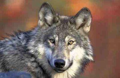 """29 giugno 2016: incontro-dibattito a Nus su """"Il ritorno naturale del lupo sulle Alpi"""""""