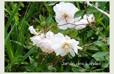 Les rosiers de mon jardin en mai.